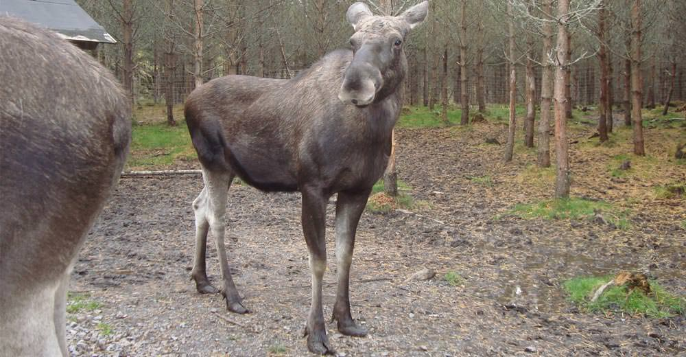 Dalsland Moose Ranch - Elch